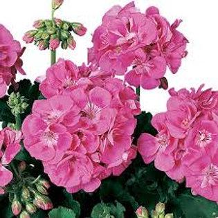Americana Pink  Geranium 6 pack