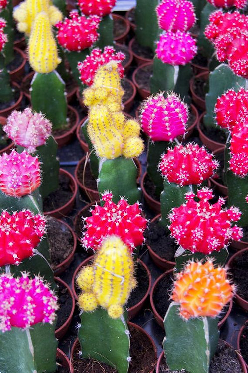 Color Top Cactus 3in