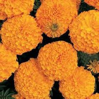 Marigold Inca Orange Flat 32 plants