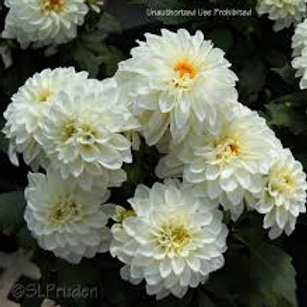 Dahlinova Hypnotica White 6.5in pot