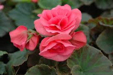 Rieger Begonia Solenia Light Pink 5in pot
