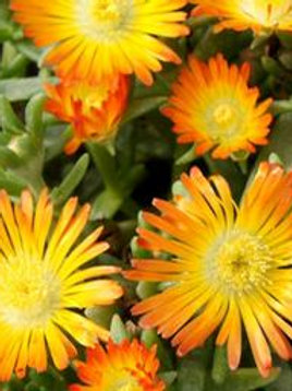 DELOSPERMA ORANGE WHEELS OF WOND
