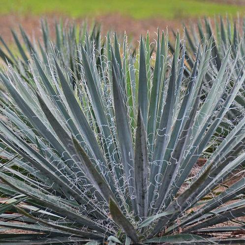 Yucca Excalibur-Adam's Needle