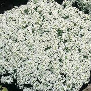 Alyssum Snow Crystal Flat 48 plants
