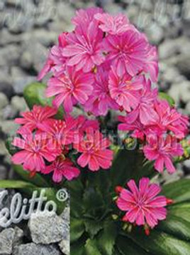 LEWISIA ELISE RUBY RED