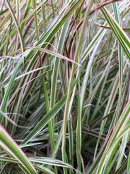 ANNUAL GRASS FIREWORKS 6.5INCH POT