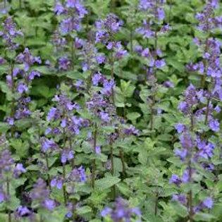 Herb CATNIP 4inch pot
