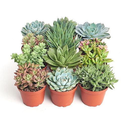 Succulent Assortment 4 inch pot