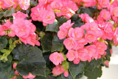 Rieger Begonia Evening Glow  5INCH pot