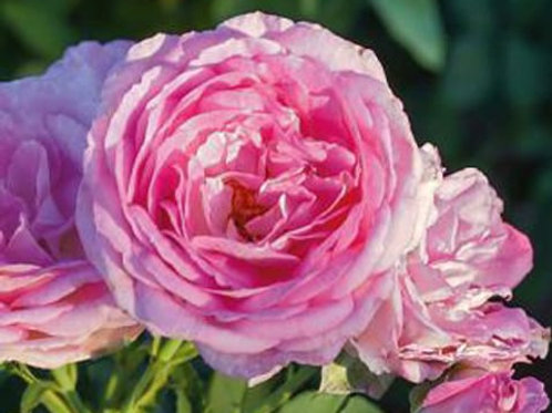 Climbing Lavender Crush Rose