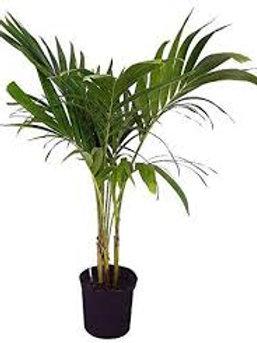Adonidia Palm 10in pot