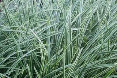 PERENNIAL GRASS CAREX ICE DANCE-sedge GALLON POT