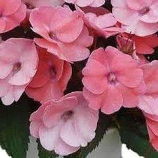 Sunpatiens Shell Pink 4.5in Bench Pot