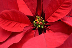 red poinsettia 2019.jpg