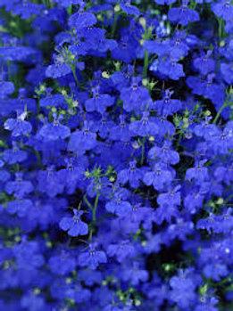 LOBELIA LAGUNA ELECTRIC  BLUE  4.5IN BENCH POT