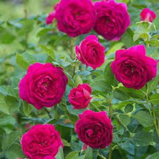 CELESTIAL NIGHT ROSE TREE