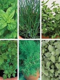 Herb Italiano Mix (basil, chives, oregano, parlsey, rosemary, sage)