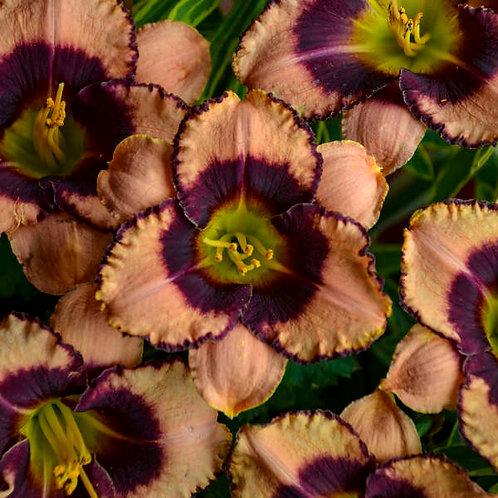 Hemerocallis Daring Deception-daylily GALLON POT