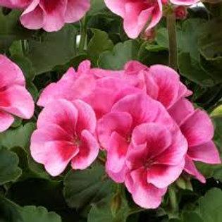 Jumbo Geranium Americana Rose Mega Splash 6.5INCH pot