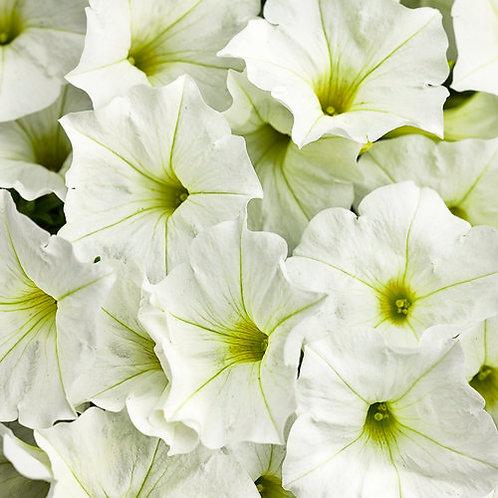 PETUNIA SUPERTUNIA WHITE 4.5INCH BENCH POT