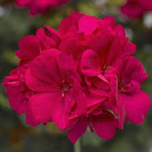 Geranium Calliope Hot Pink 4.5in Bench Pot