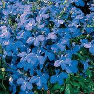 Lobelia Sky Blue Flat 48 plants