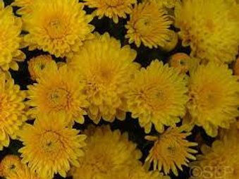 Garden Mum Golden Cheryl 4.5in Bench pot