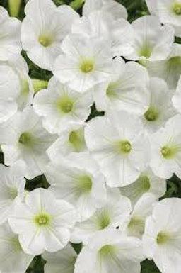 PETUNIA SUPERTUNIA VISTA WHITE 4.5IN BENCH POT