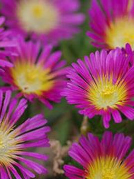 DELOSPERMA HOT PINK WHEELS OF WO