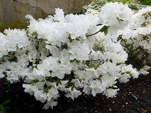 AZALEA HINO WHITE 3GAL