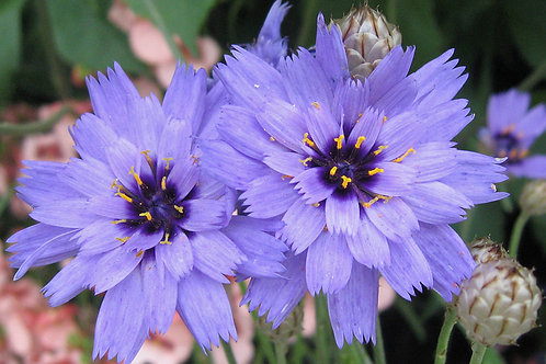 CATANANCHE SUPID'S DART