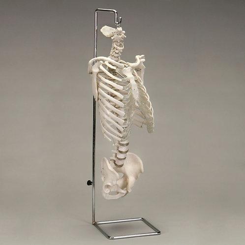 Altay Economy Human Spine (vertebrae) and Thorax