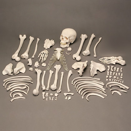 Altay Economy Disarticulated Human Skeleton
