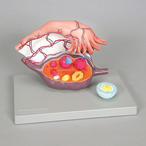 Altay Human Ovary Model