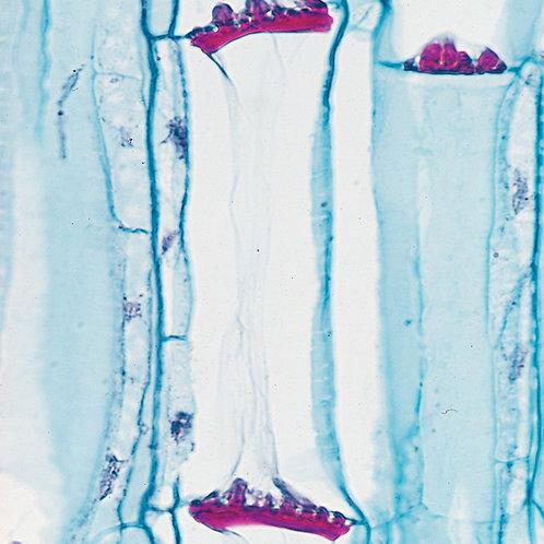 Pumpkin Stem 12 µm Microscope Slide
