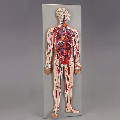 Altay Human Circulatory System Model
