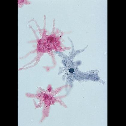 Amoeba proteus Slide