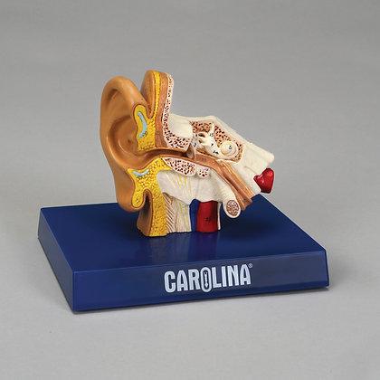 Carolina® Human Ear Model
