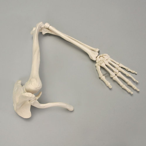 Altay Human Arm Skeleton with Scapula and Clavicle