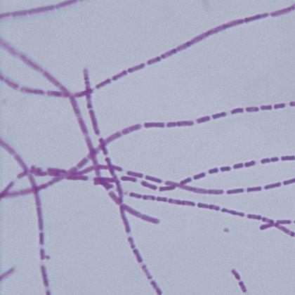 Bacillus anthracis, Microscope Slide