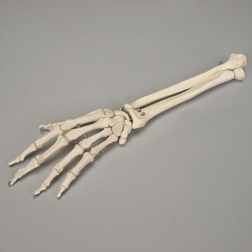 Altay Bones of the Hand and Forearm