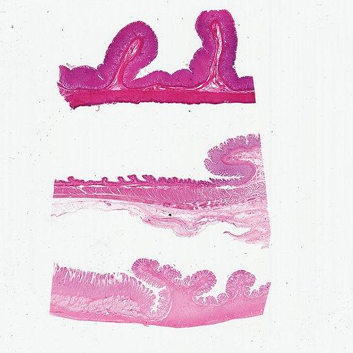 Mammal Stomach Composite Microscope Slide