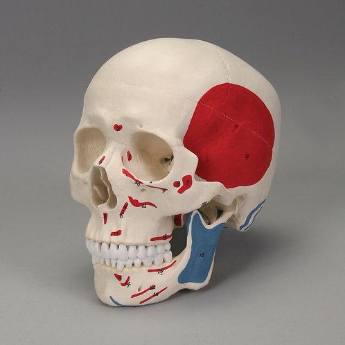 Altay Human Muscular Skull