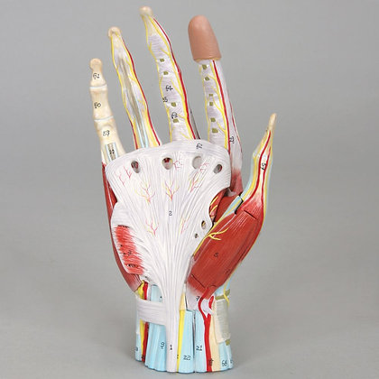 Altay Human Hand Dissection Model