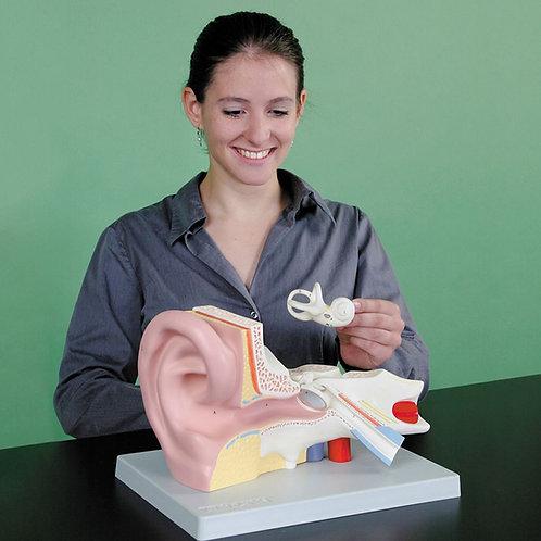 Altay Human Ear Model