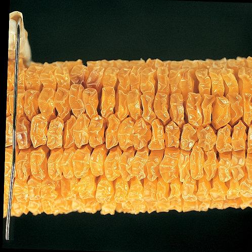 Corn Parent Ear, Yellow Sweet