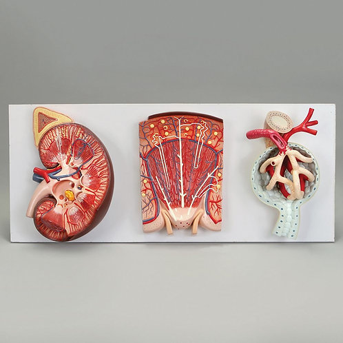 Altay Human Kidney, Nephron and Renal Corpuscle Model