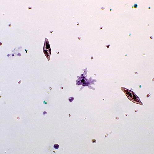 Mixed Protozoa, Microscope Slide
