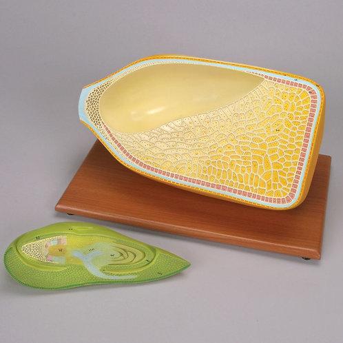 Altay Corn Seed Model