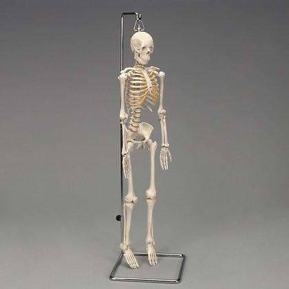 Altay: Desktop Miniature Skeleton